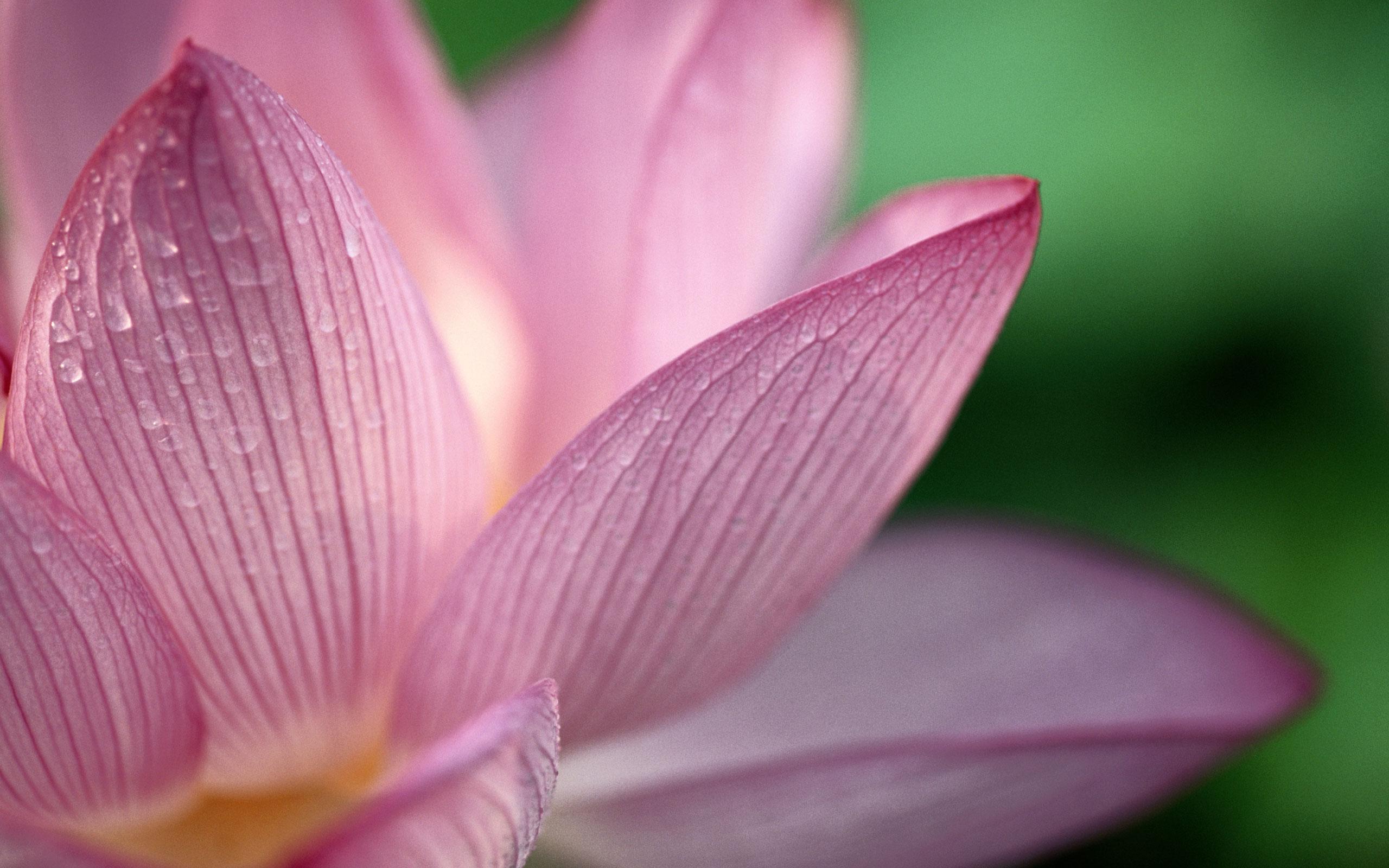 Image search Lotus Flower Pod